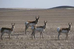 Antelope 2